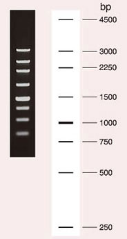 250 bp DNA Ladder