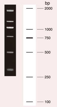Wide-Range DNA Ladder(100-2,000 bp)