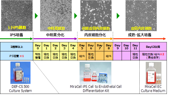 Cellartis iPS Cell to Hepatocyte Differentiation Systemの実験フロー