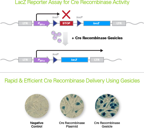Cre Recombinase Gesiclesの原理