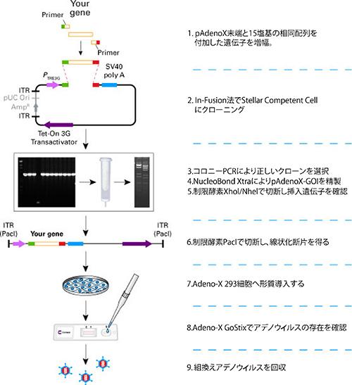 Adeno-X 293細胞株|クロンテッ...