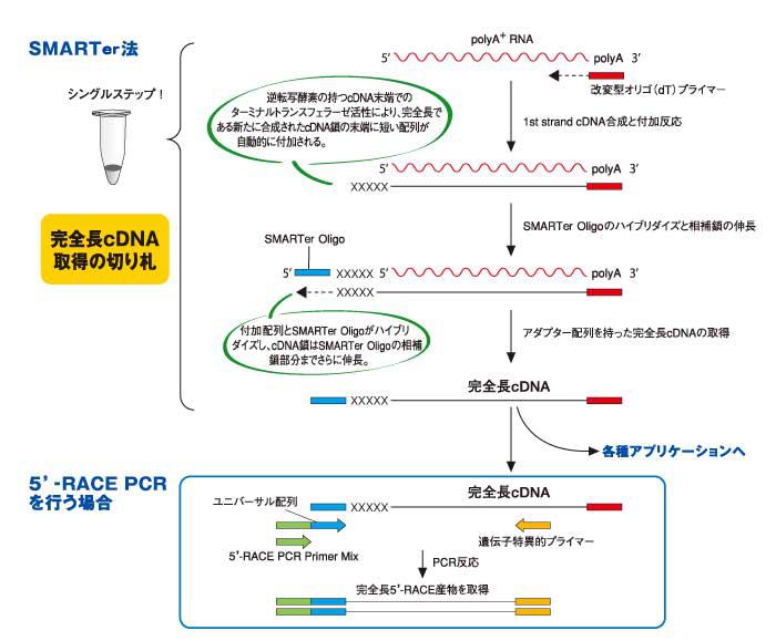SMART法を用いたcDNA合成の概要 クロンテック製品情報 タカラバイオ株式会社